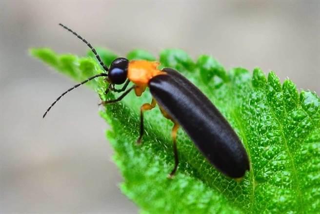 東勢林場復育9種螢火蟲,以黑翅螢數量最多。(東勢林場提供/王文吉台中傳真)