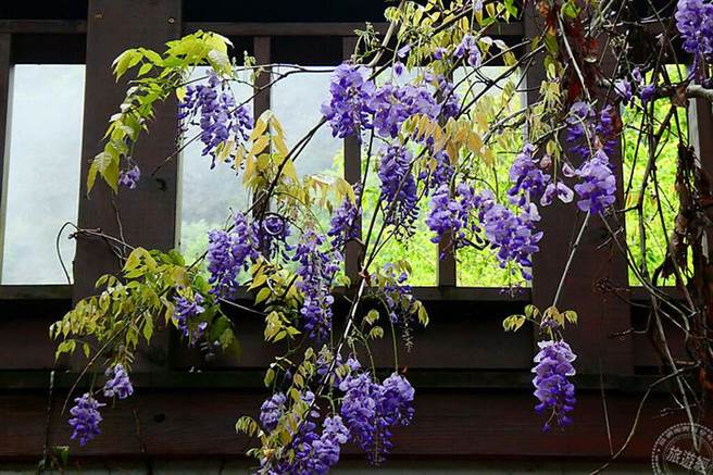 奧萬大的紫藤正開花(南投林區管理處提供)