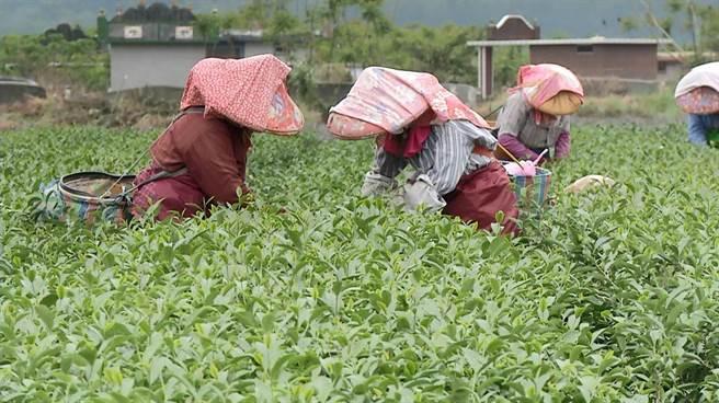 採茶工人嚴重短缺 台東茶農希望政府重視缺工困境 - 寶島