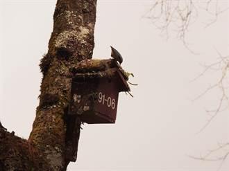 阿里山國家森林遊樂區春暖花開 「攀爬高手」茶腹鳾來報到