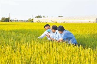 一期作孕穗期可望遇梅雨 停灌機率低