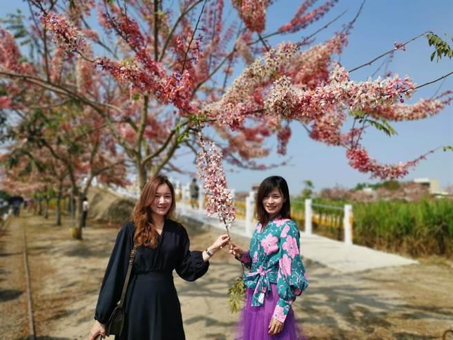 西港金砂里花旗木正盛開,家住安平區的林小姐(右)、黃小姐結伴遠道而來賞花。(劉秀芬攝)