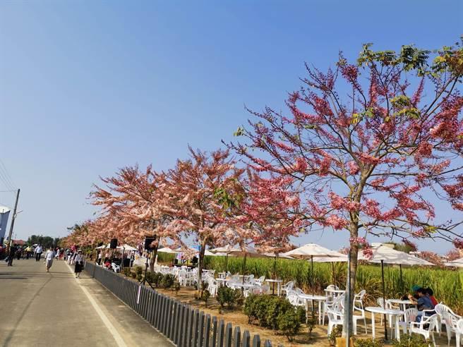 西港金砂里花旗木正盛開。(劉秀芬攝)