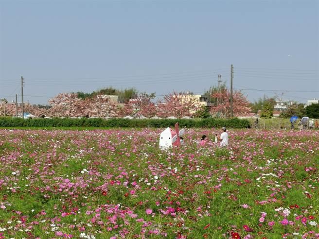 配合花旗木花季,金砂里社區民眾於附近農田種植花海。(劉秀芬攝)