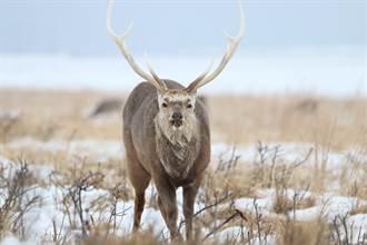鹿角掛對手頭骨趴趴走 拖百公斤屍體過冬 專家一看嚇傻