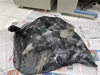 瑞芳警破擄鴿勒贖 逮4賊救出13隻賽鴿