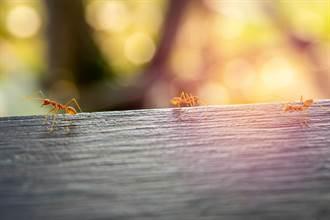 共同社:日台將合作開發AI技術 快速判定紅火蟻