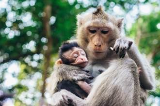 幼猴緊抱媽媽求溫暖 遭狠心推下樹 才活一天就慘死