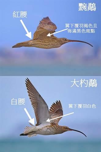 瀕危水鳥「黦鷸」衛星訊號在台南 鳥友急尋找
