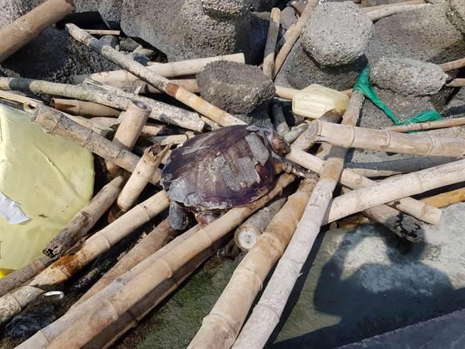 雲林三條崙海水浴場岸際約200公尺處昨(27日)獲報有1隻死亡海龜。(海巡署中部分署第四岸巡隊提供)