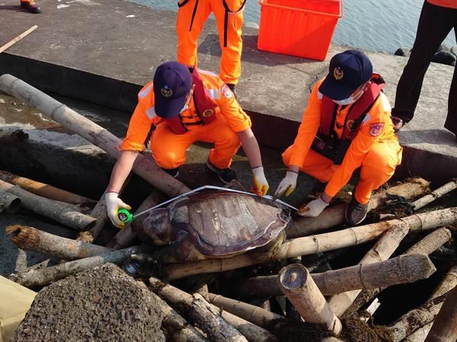 大海龜狀似死亡多日,可能是死亡後或死亡前被沖上岸卡在防坡堤的消波塊與竹管之間,龜體長約110公分、寬70公分。(海巡署中部分署第四岸巡隊提供)