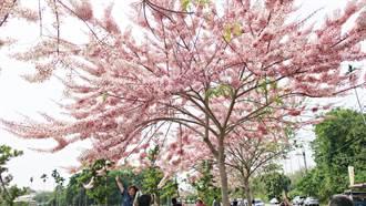 二水花旗木盛開 緊鄰鐵道成網美祕境