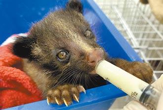 救了山羌及肚裡寶寶 半年野放31動物