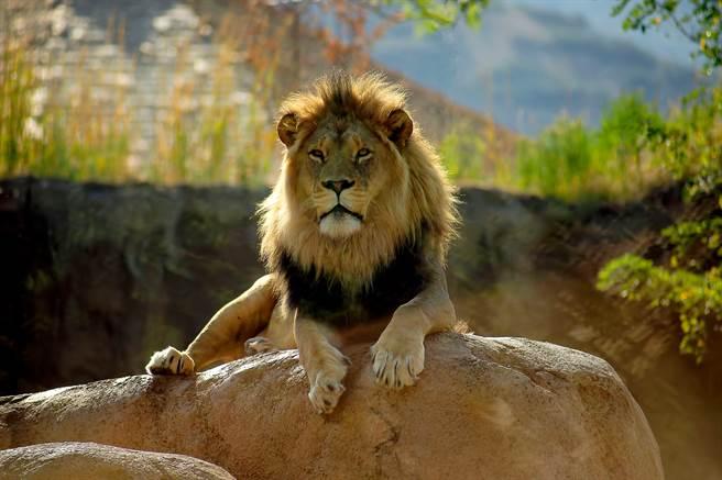 家長帶孩子到動物園看非洲獅,沒想到籠子裡竟是黃金獵犬。(示意圖/達志影像)