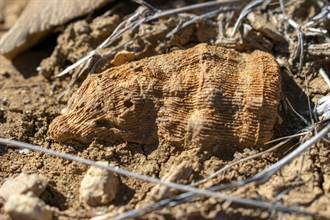 6歲男童家裡後院挖出「長角怪石」 考古學家一看嗨了