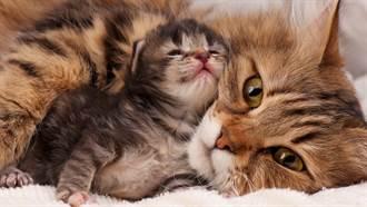 小貓患眼疾!母貓親叼急送醫  獸醫護士全驚呆