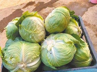 高麗菜價跌 菜農怨年初虧到現在