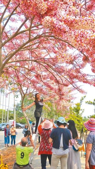 二水花旗木盛開 打卡祕境