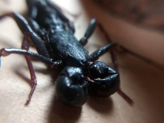 一名女網友在家裡發現怪蟲,事後才知道是價值600元的「台灣特有種鞭蠍」。(示意圖/達志影像)