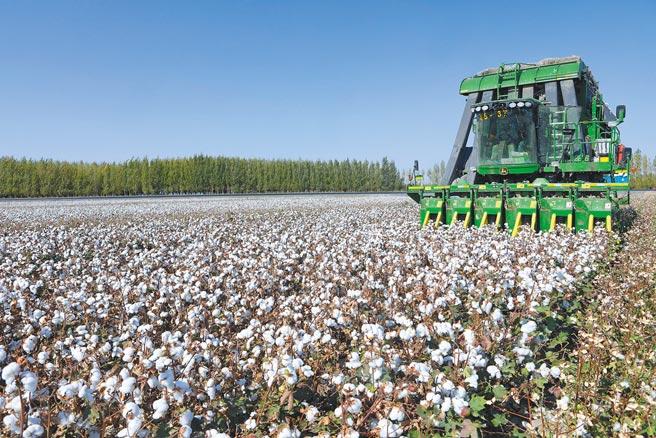 朋友的哥哥在當地的棉花廠工作,說廠裡的正職幹部都是由維吾爾族擔任,漢族只能做副職。圖為去年棉工在新疆石河子總場六分場三連棉田內機械採棉。(中新社)