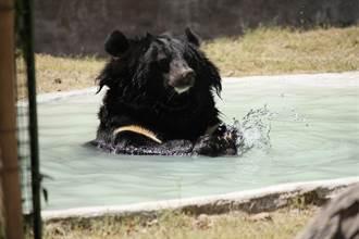 黑熊見熱浴池伸掌試水溫 溜進度假屋爽泡湯表情萌翻