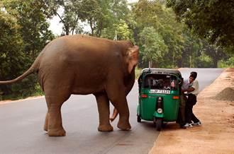 落單大象突發狂 他慘遭象鼻捲起拖行畫面全曝光