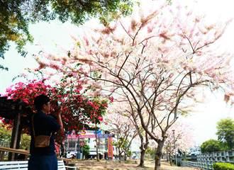 清明連假賞櫻不是夢 潮州「櫻木花道」正盛開
