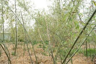 獨家/潭子綠竹筍渴到減產 和平桂竹不出筍