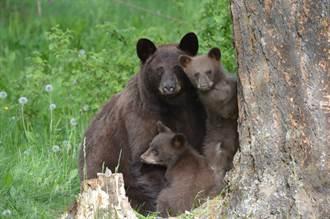 4幼崽被叼一隻跑一隻 熊媽纏鬥20分鐘 耐心舉動網佩服