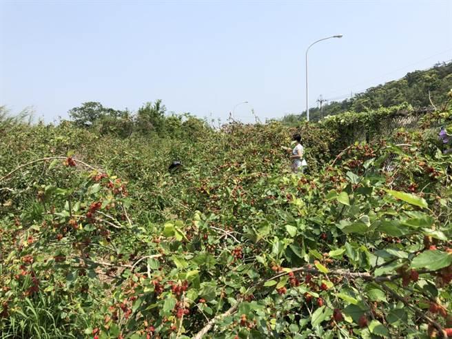 銅鑼桑葚進入採收期,鄉公所呼籲民眾適量採摘,採紫紅色或紫黑色的成熟果實就好。(讀者提供/巫靜婷苗栗傳真)