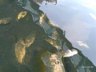 三峽河大量魚群暴斃 環保局:水質檢驗無毒