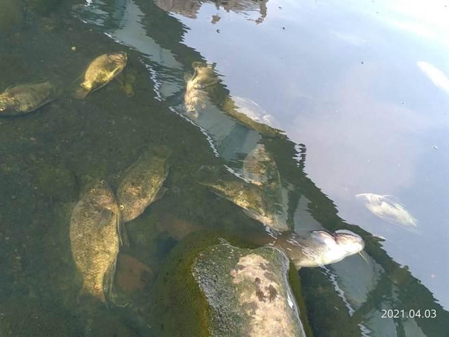 新北市三峽河被民眾發現有大量吳郭魚暴斃,環保局到場檢驗後,未發現水質有毒性反應,上游也沒有工廠排放廢水狀況。(新北市環保局提供)