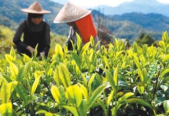 傳統茶葉企業陷困局