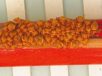黃金蝙蝠近瀕危 雲林籲列保育類