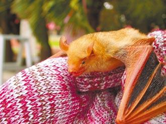 台灣蝙蝠 沒有人畜傳染疑慮