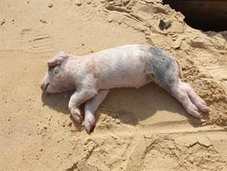 新北萬里海漂死豬 非洲豬瘟檢驗陽性
