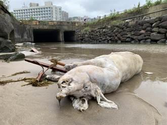 本島驚見首例非洲豬瘟海漂豬 應變中心:對岸漂來機率最大