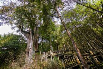 這裡神木都是古人名 亞洲最大檜木保育林來場森呼吸