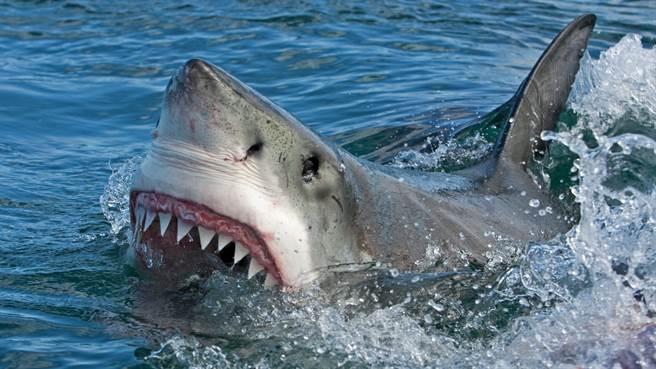 澳洲雪梨度假勝地近日出現一尾鯊魚衝向沙灘嚇壞眾人。圖片為示意圖。(圖/shutterstock)