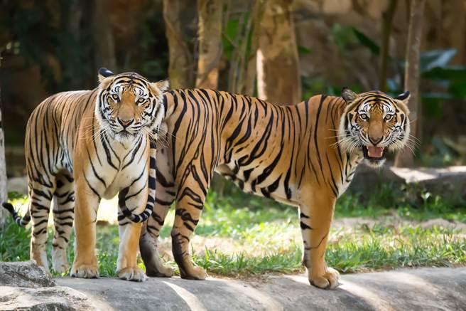 2隻老虎本來想聯手偷襲大白鵝,沒想到下秒卻慘遭回擊,反而被嚇得落荒而逃。(示意圖/達志影像)