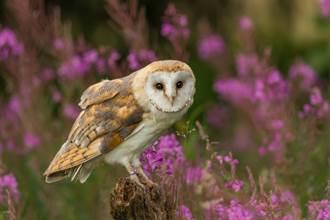公倉鴞突下蛋低頭猛盯懷疑鳥生 保育員也嚇到關門冷靜