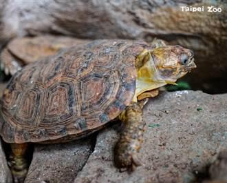 陸龜界變形金剛 倒栽蔥卡進石縫 不知短腿露出洩蹤跡