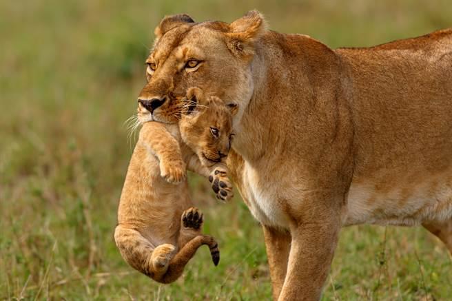 野生動物攝影師拍到母獅帶著幼獅分食親骨肉的殘忍畫面。(示意圖/達志影像)