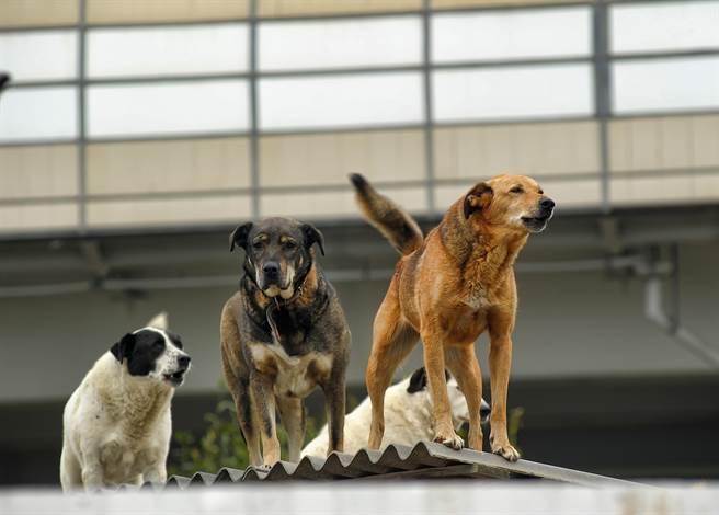 3隻寵物犬原本在屋頂玩耍,下秒小黃卻遭同伴推下樓,所幸地面有充氣游泳池接住,才沒有造成憾事。(示意圖/達志影像)