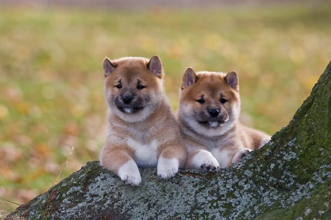 不少網友怕寵物寂寞,因此會幫毛小孩找伴侶,但兩方看對眼並不容易,就有主人讓兩隻柴犬從小在一起生活,就是希望牠們能生寶寶,沒想到長大後,一方卻覺得不舒服,導致雙方經常發生爭執。(示意圖/達志影像)