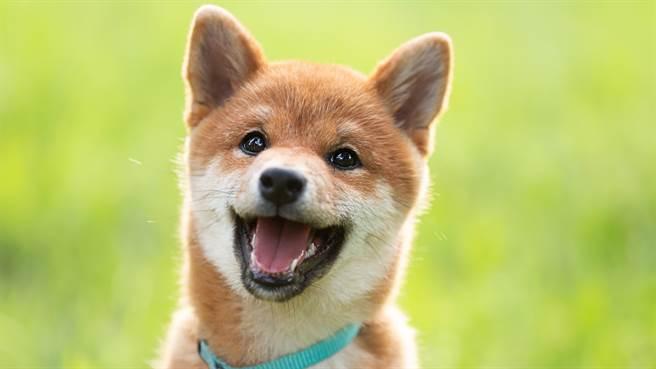 日本柴犬Mame,日前與主人玩球時不小心將球滾入水溝中,牠頻伸出手試圖抓取。圖片為示意圖。(圖/shutterstock)