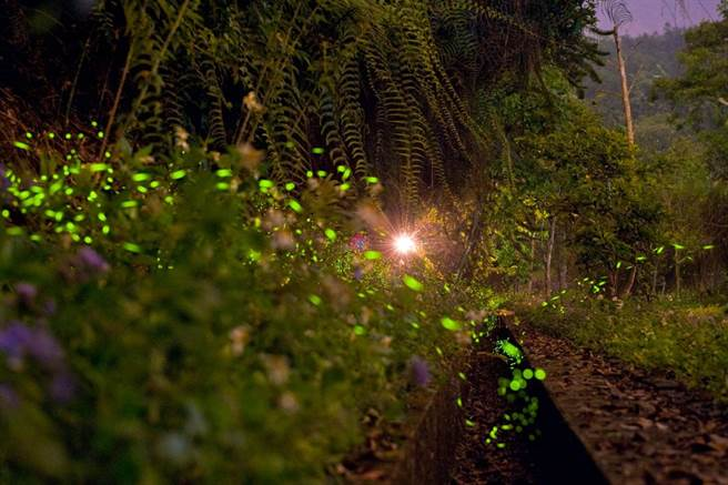 日月潭螢火蟲季展開,日月潭風管處結合在地協會,推出賞螢遊程。(日管處提供/廖志晃南投傳真)