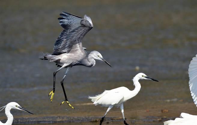稀有的暗色型小白鷺,捕魚技巧與一般小白鷺沒兩樣。(莊哲權攝)
