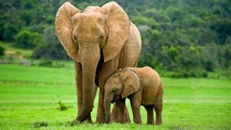 100kg小象與母象走散困水溝  他下秒扛肩狂奔協尋man炸
