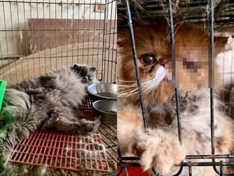 台中民宅竟藏黑心繁殖場 品種貓遭虐恐怖慘況曝光